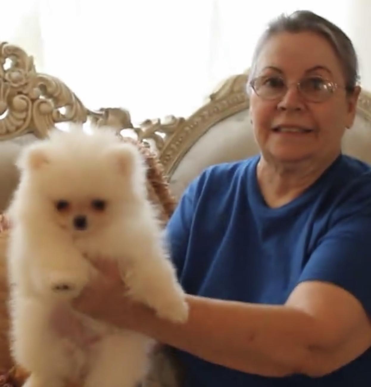Akc Registered White Pomeranians Camelot Kennel Yumapoms Com Yuma Arizona