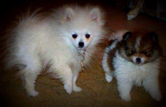 Pomeranian Puppy Uglies